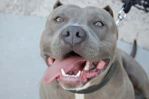 Pit Bull Law - Riverside Personal Injury Attorney - Heiting & Irwin Attorneys At Law